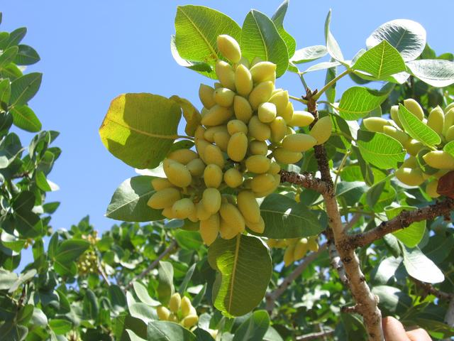 Pistachio Tree: Pictures, Images, Photos, Facts on ...