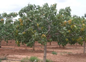 pistachio tree picture
