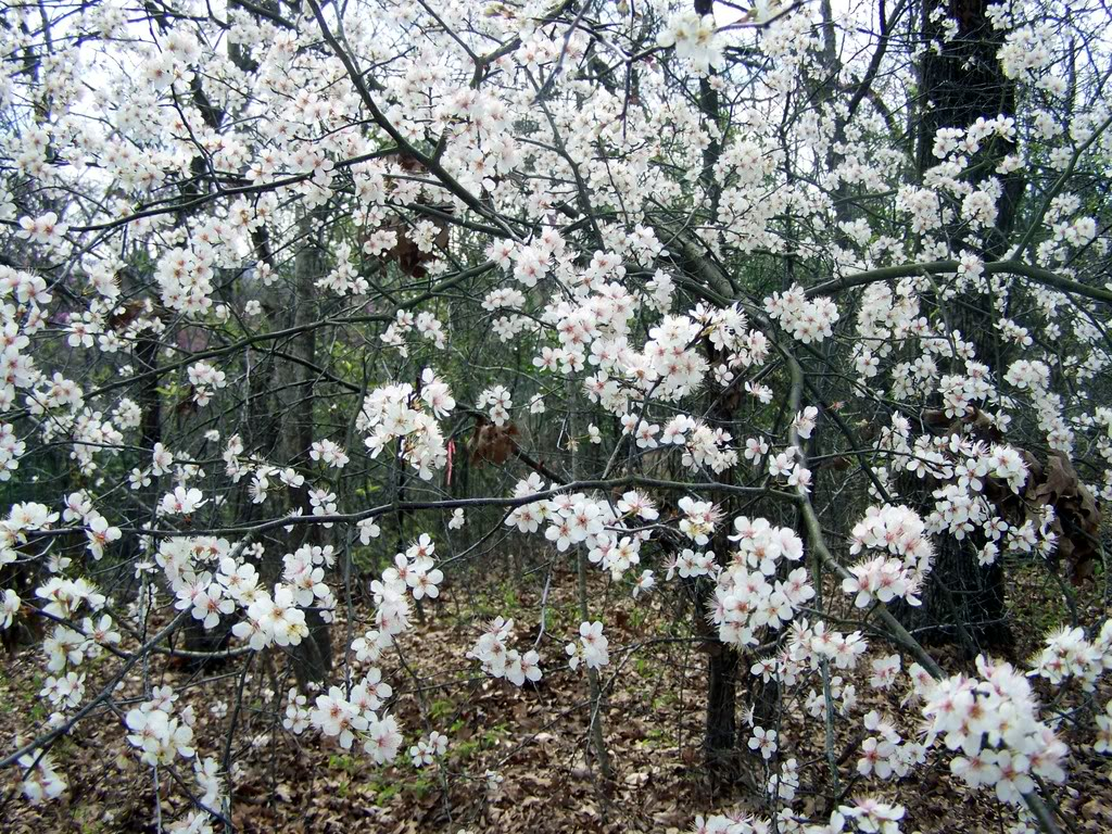 Plum Tree Pictures, General Information on Plum Trees
