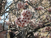 plum tree flowers