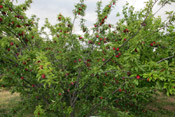 plum tree picture