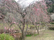 plum tree prunus