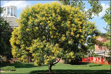 Golden rain tree pictures detailed information on the golden rain rain tree mightylinksfo