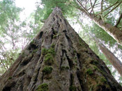 redwood sequoia