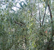 russian olive oleaster