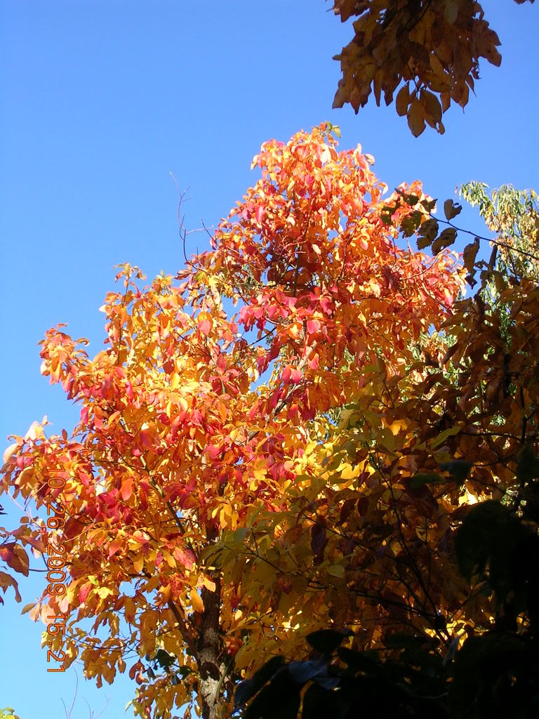 http://www.treepicturesonline.com/sassafras.jpg