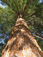 sequoia picture