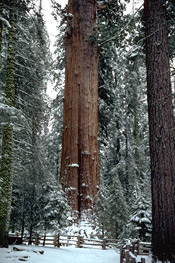 sequoia photo