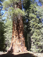 sequoia photograph