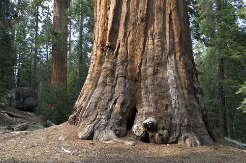 Sequoia Tree: Pictures, Photos, Images, Facts & on Sequoia Trees