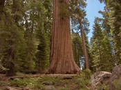 Sequoia Giant Photo