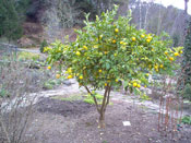 Pictures of Lemon Trees: small lemon tree