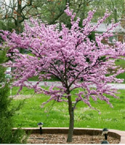 small red bud tree
