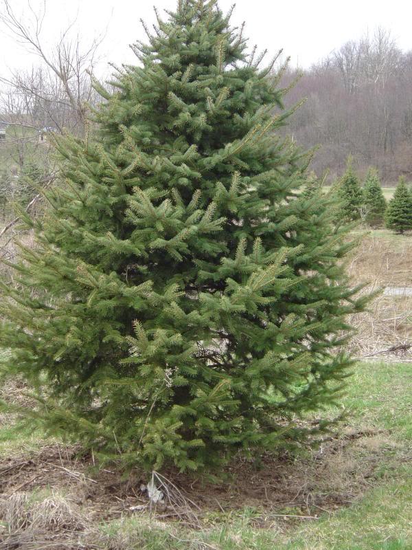 spruce tree pictures 1 spruce tree pictures 2 spruce tree species list ...