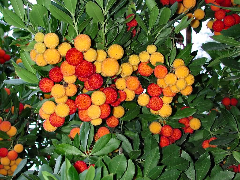 strawberry tree pictures, photos, images, facts on the strawberry, Beautiful flower