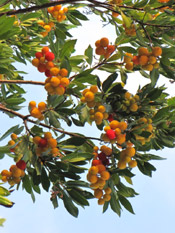 strawberry tree photo