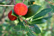 Pictures of Strawberry Trees: Strawberry tree fruit