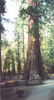 Sequoia Giant Photograph