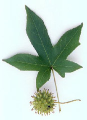 Sweetgum; Picture of Leaf and Fruit of the Sweet Gum Tree