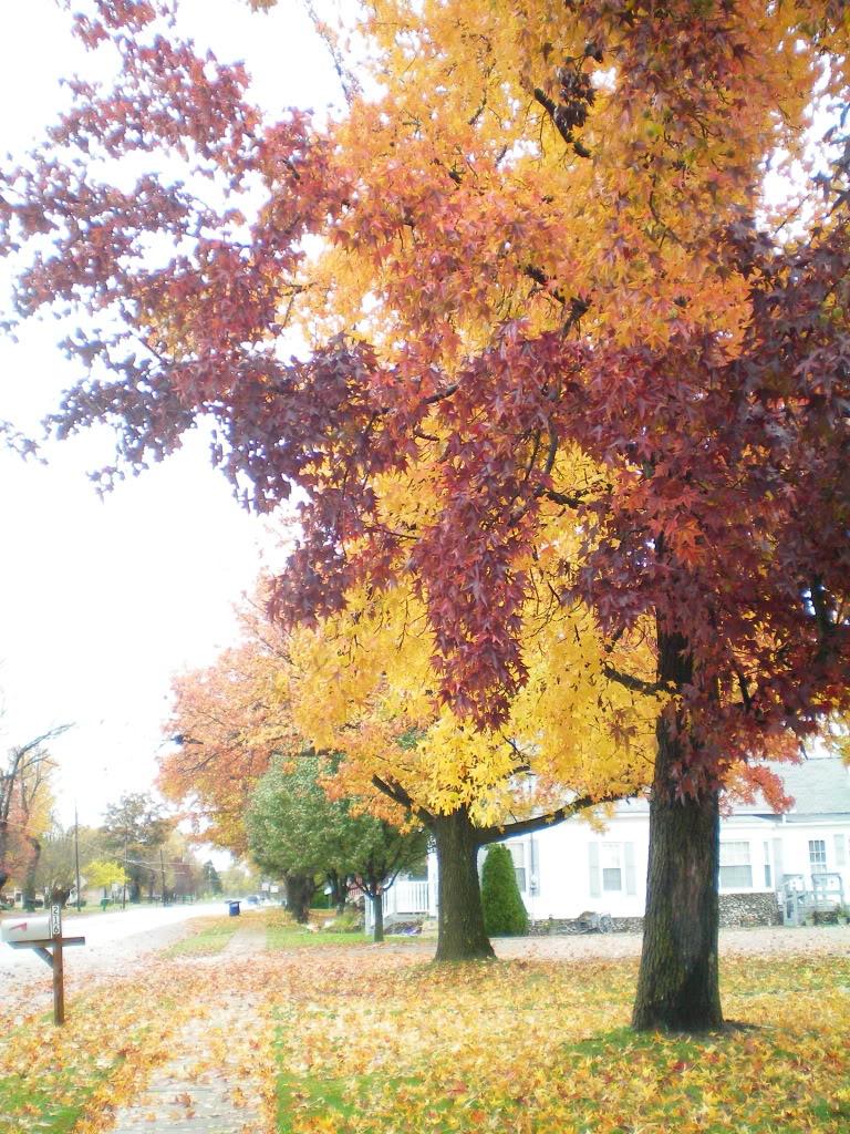 sweetgum tree pictures