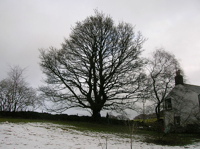 Sycamore Tree Pictures Images Photos Facts Of Sycamores