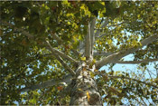 sycamore tree photograph