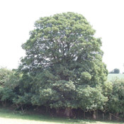 Sycamore Tree pic