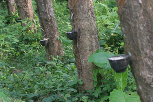 Rubber Tree Pictures Detailed Information On Rubber Trees