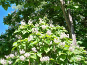 The Catalpa Tree