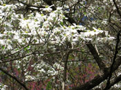 The Dogwood Tree