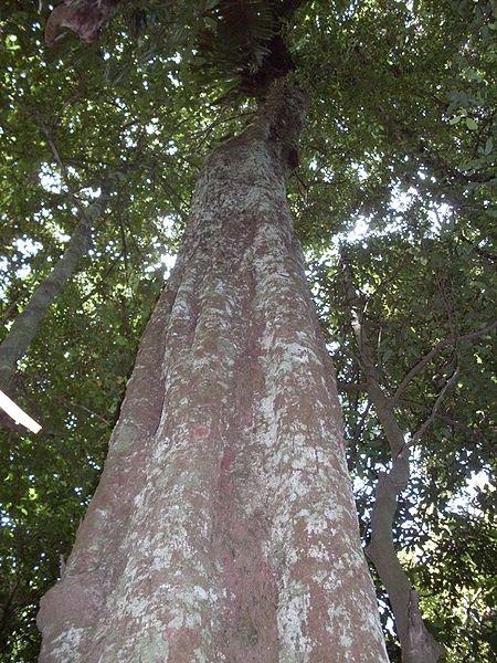 Ebony Tree Pictures Images Photos Facts On Ebony Trees