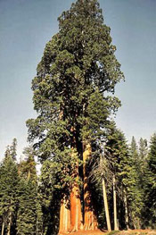 Sequoia Giant Pic