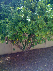 Pictures of Lemon Trees: the lemon tree