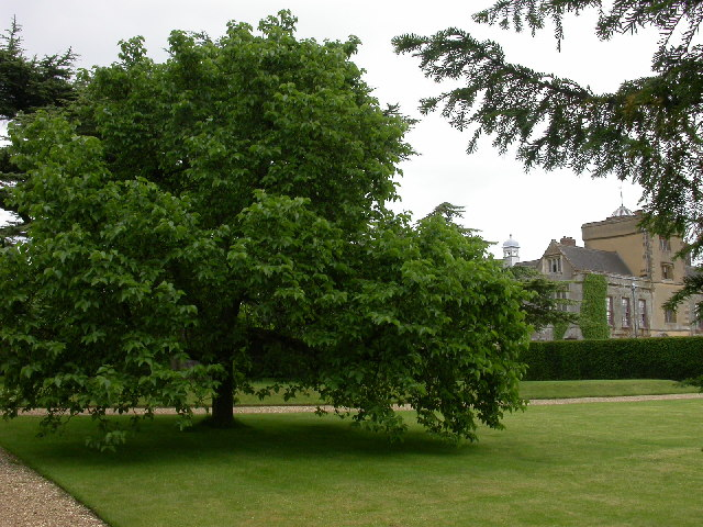 Mulberry Tree: Pictures, Images, Photos of Mulberry Trees