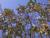 the pistachio tree