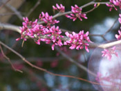 the redbud tree