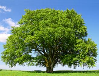 beechwood tree