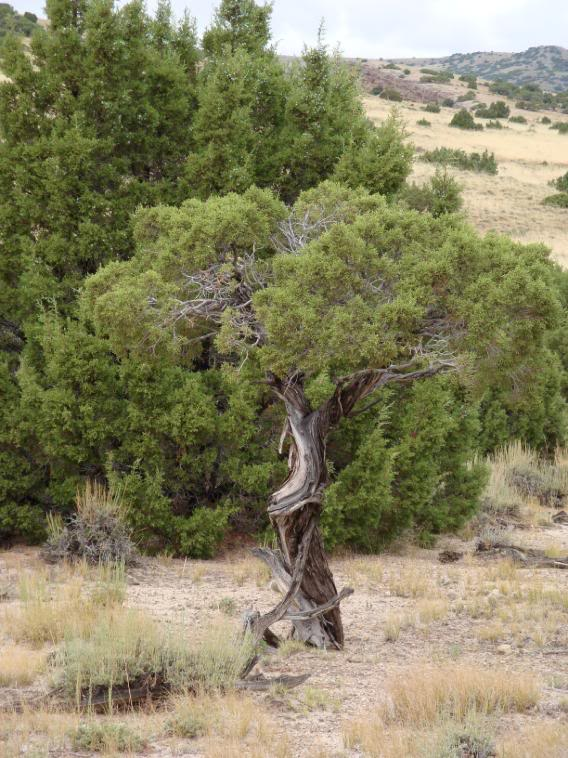 Juniper Tree Pictures Facts On Juniper Trees