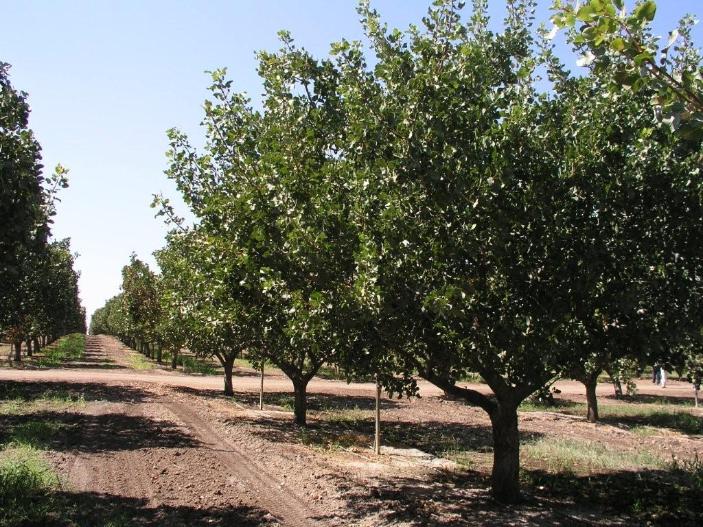pistachio tree pictures images photos facts on pistachio trees