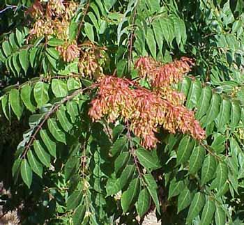 http://treepicturesonline.com/treeofheavenleaves.jpg