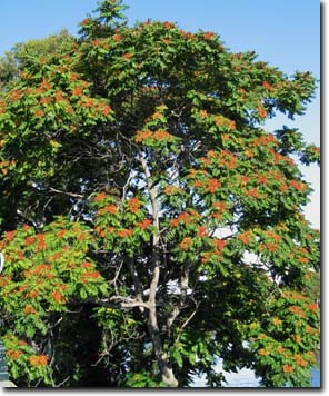 Tree of heaven pictures images facts on tree of heaven