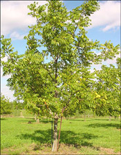 Pictures of Walnut Trees: Baby Black walnut tree