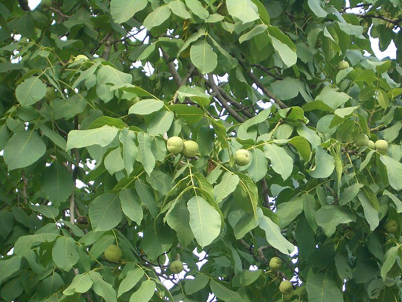 Walnut Tree Pictures, Information on the Walnut Tree Species