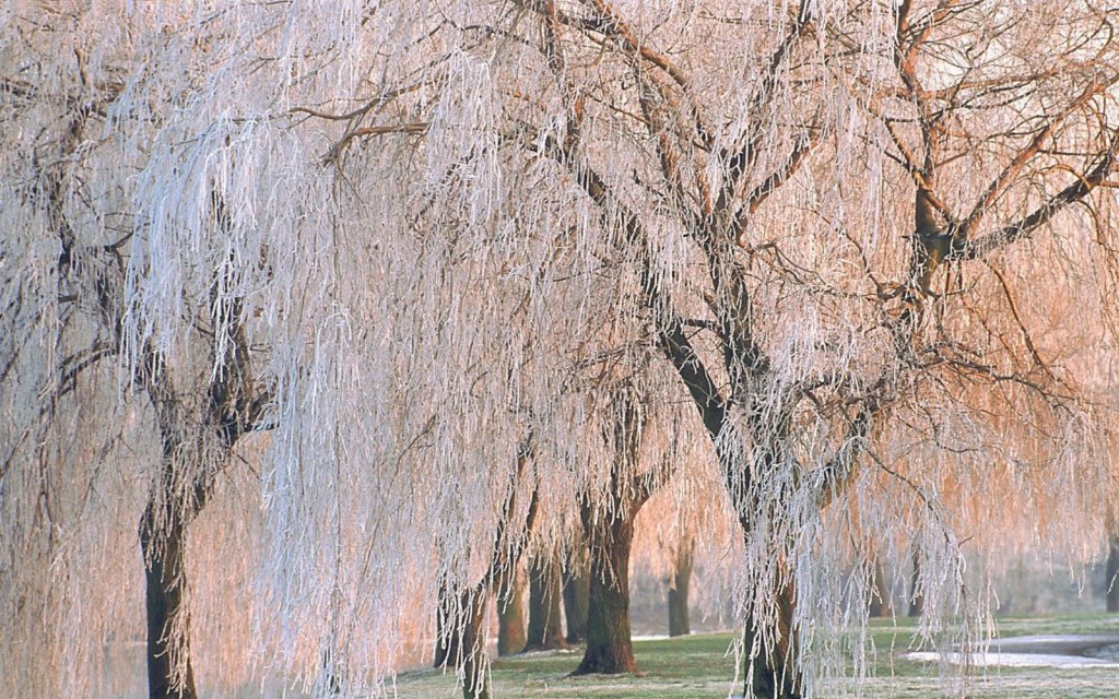 Which tree are you most like and why—mangrove, birch, or weeping willow.?
