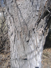 west locust tree