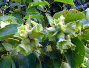 Pictures of Hazelnut Tree; Wild Hazelnut Trees
