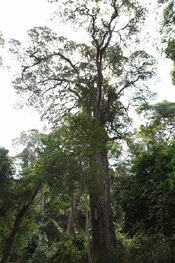 árbol yellowwood