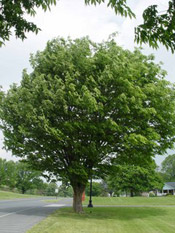zelkova tree photo
